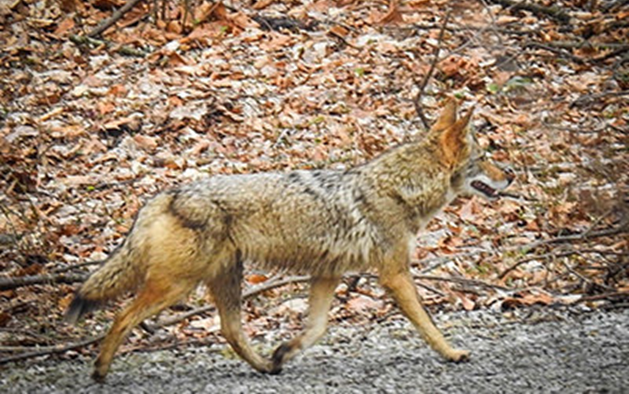 INDIANA DNR:  Winter Coyote Sightings Are No Cause for Alarm