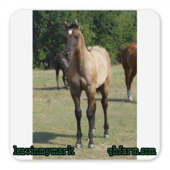 LMM#97 Fancy Square Pants 2015 grulla filly