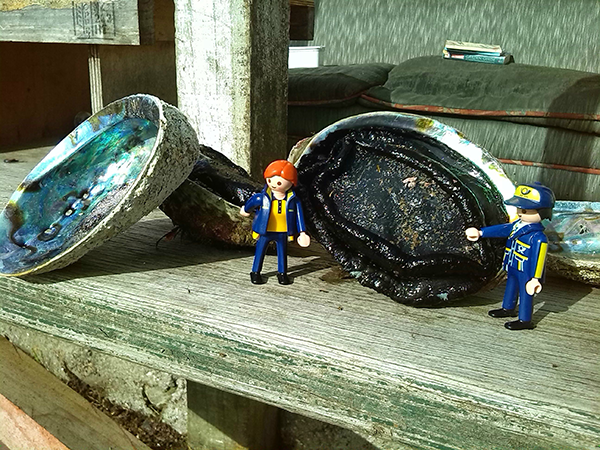 Everyone has seen the beautiful paua (abalone) shells that come from NZ, or possibly jewellery made form them. This is what they look like when the animal is still in there! They are very tasty, so much so there are not many left around the coasts of New Zealand, but luckily we guard our waters here and only take what we need.