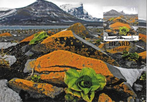Kerguelen cabbage on Heard Island, Australian territory in Antarctica  - UNESCO World Heritage Site
