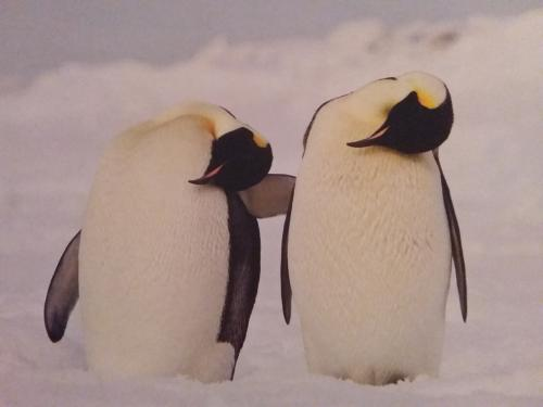 Gorgeous Penguins from Germany~~