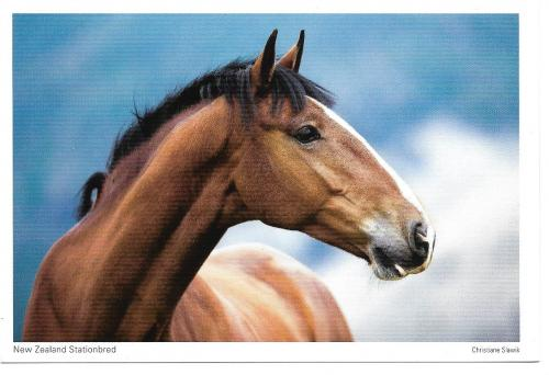 Gorgeous New Zealand bred Stationbred~~