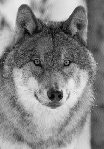 A wolf, shot by Arkimbo in a wildpark in Winterthur - a beauty!