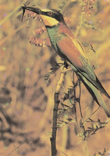 European Bee-eater ~ Merops apiaster. Breeds in southern Europe and in parts of north Africa and western Asia. It is strongly migratory, wintering in tropical Africa.