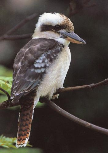 Kookaburra belonging to the Kingfisher family