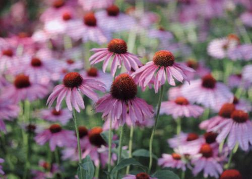 """Sonnenhut (Echinacea)""