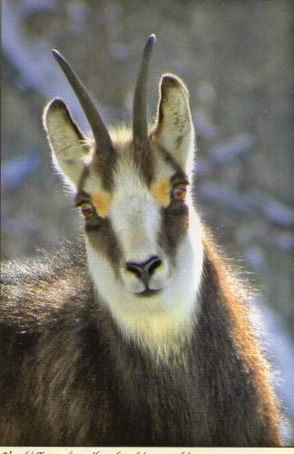 A Chamois. These animals only live in the highest Mountains the Tatras~~